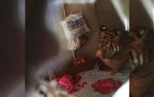 Assam: As floods wreak havoc, Tiger relax in Rafikul's bed