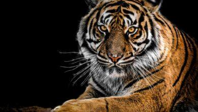 Photo of Karnataka's captured tiger healthy, under observation