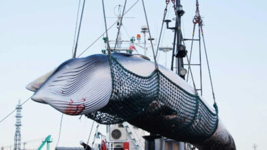 Photo of Australia criticizes Japan's return to commercial whaling