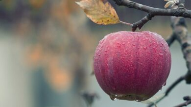 Photo of Apple: Here're the health benefits of the fruit