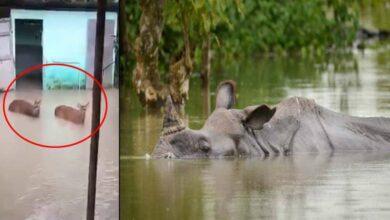 Photo of Flood-Hit, Assam suffers rare rhinos in Kaziranga Park at risk