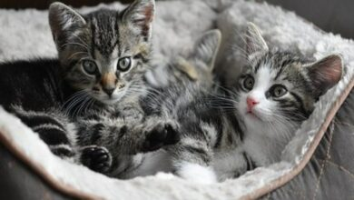 Photo of Cats continue to put on weight as they age: Study