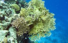 Some corals can survive in acidified ocean conditions