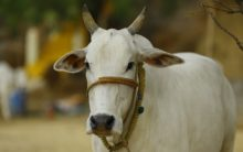 Lucknow Municipal Corporation to donate cows