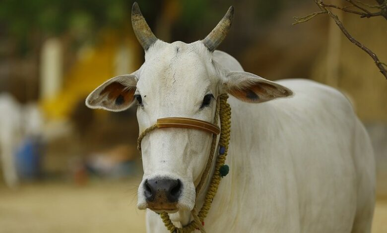 Government will give 60% funding for cow dung, urine startups