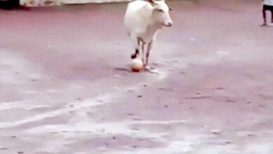Photo of Video of cow playing football in Goa goes viral
