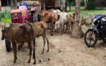 Police nab cow smugglers in Andhra Pradesh