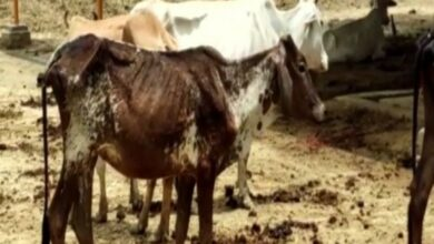 Photo of Seven cows suffocate to death in Jhansi