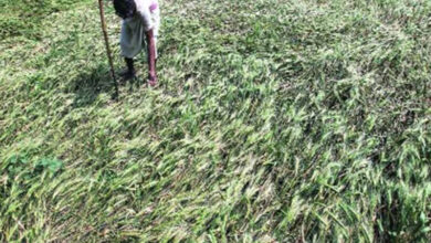 Photo of Water scarcity damaging paddy crop in East Vidarbha