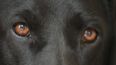 Photo of Dog eyes evolved to better communicate with humans: Study