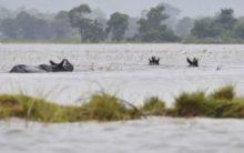 Flood-Hit, Assam suffers rare rhinos in Kaziranga Park at risk