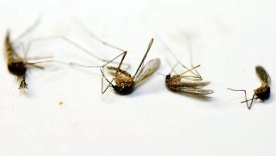 Photo of AGO trap: Eliminates female mosquitoes to help curb chikungunya virus