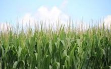 Do climate fluctuations affect global crop yields?