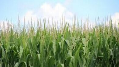 Photo of Do climate fluctuations affect global crop yields?