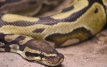 Snake creates panic in Agra shoe factory