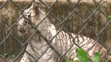 Photo of White tigress brought from Delhi to Lucknow zoo