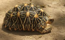 500 Indian star tortoises seized from train passenger in AP
