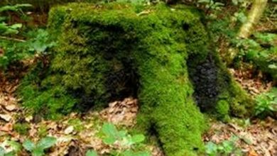 Photo of Surrounding trees keep tree stumps alive!
