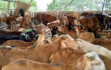 Markets in Hyderabad flooded with sheep for Bakrid