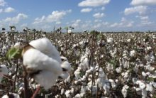 Worry in India as cotton prices take a hit