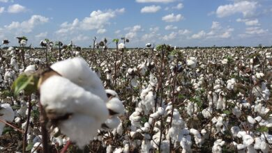 Photo of Worry in India as cotton prices take a hit