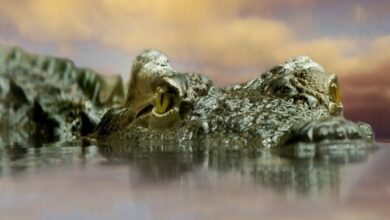 Photo of Gujarat: 52 crocodiles rescued in Vadodara after floods