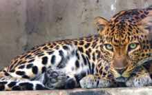 Leopard spotted in Kukatpally
