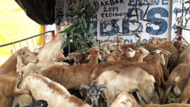 Photo of Live Stock in the city for EID