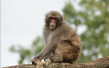 A beautiful message for humans: This monkey knows conservation