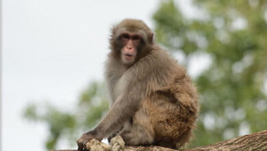 Photo of A beautiful message for humans: This monkey knows conservation