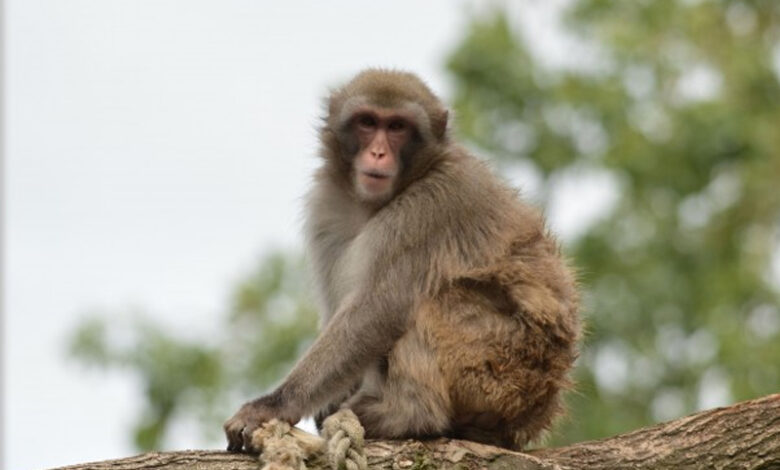 Tension in UP district after monkey shot dead by Muslim boys