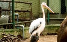Rosy Pelican hatchling in Coimbatore Zoo