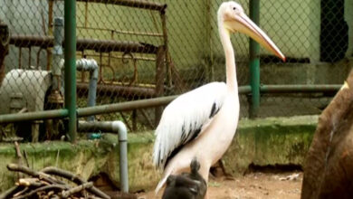 Photo of Rosy Pelican hatchling in Coimbatore Zoo