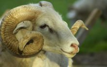 Sheep prices likely to hit a new high in Hyderabad