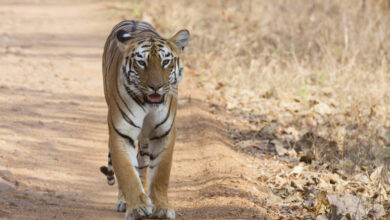 Photo of Hunt on for killer tiger in Karnataka forest