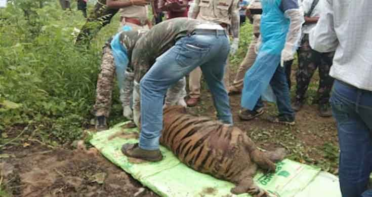 Tigress died after eating poisoned wild boar