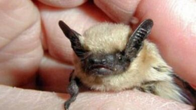 Photo of Little GPS tags uncover the secret life of desert bats