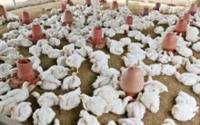 Chicken prices nosedive owing to festive seasons