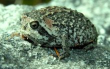 Eleven new species of rain frogs discovered in tropical Andes