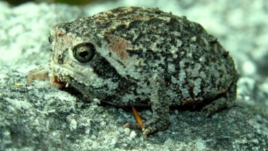 Photo of Eleven new species of rain frogs discovered in tropical Andes
