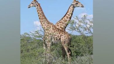 Photo of Human activity probably affects giraffes social networks