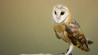 Photo of Here's how barn owls can help advance navigation technology