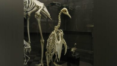 Photo of Researchers discover fossil of monster penguin in New Zealand