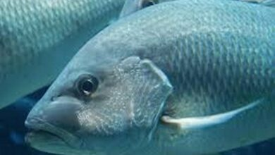 Photo of Water pollution may be keeping silver carp out of Great Lakes
