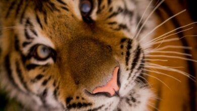 Photo of Sumatran tiger kills farmer in Indonesia