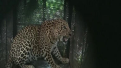 Photo of Leopard captured by forest officials in Junapani village