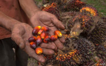 Things to know about palm oil and Indonesia's raging forest fire