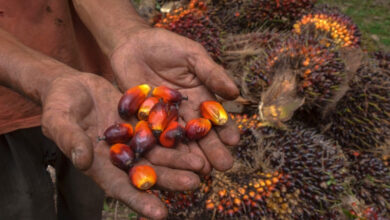 Photo of Things to know about palm oil and Indonesia's raging forest fire
