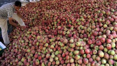 Government to procure Kashmiri apples