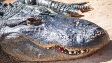Photo of Researchers identify prehistoric crocodile